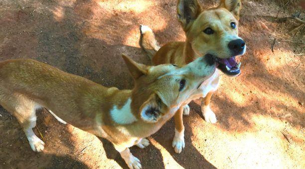 Dingoes at Rainforestion Wildlife Park