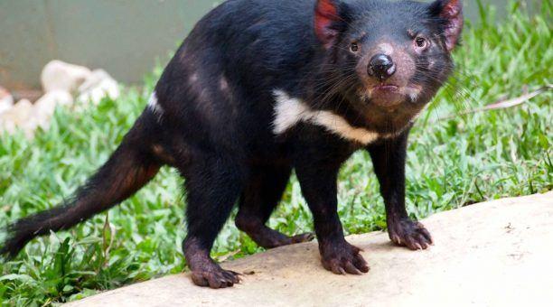 Tasmanian Devil at Rainforestion Wildlife Park